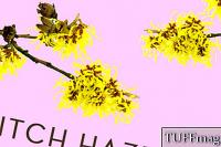 Witch Hazel 101
